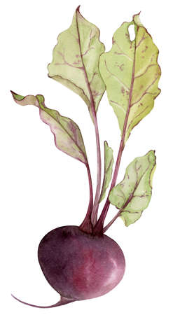 Watercolor beetroot with leafs