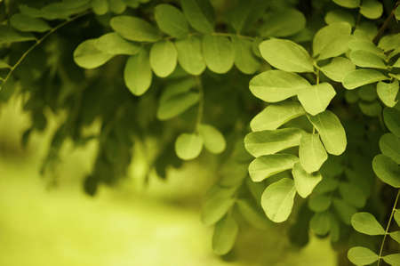Yellow-green nature background with dandling brunches of tree