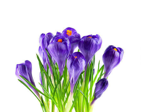 Blooming purple crocuses isolated on white
