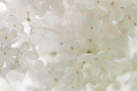 Flowering white lilac in the soft morning light, close-up Archivio Fotografico