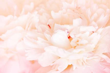 Tender light cream background of fresh peony petals, close up