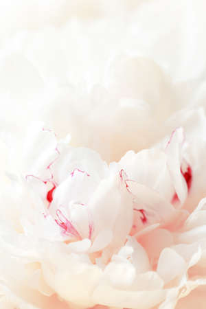 Tender white background of fresh peony petals, close up