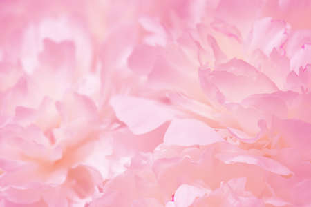 Tender pink background of fresh peony petals, close up Stockfoto