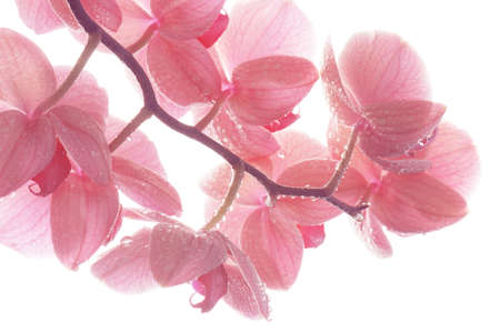 Close-up pink orchid flowers with drops, tender light floral composition Stockfoto