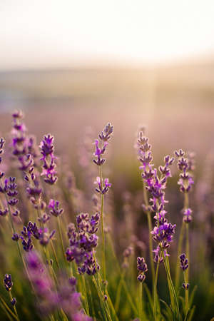 A field of lavender. Summer flowering. Provence. Stock Photo