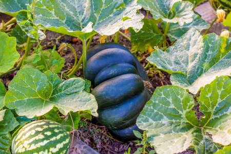 Green-skinned pumpkin. Harvest. The autumn season of harvest.