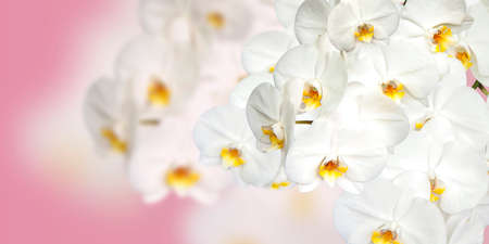 Large white Orchid flowers in the panoramic image. Panorama, a banner with space for text or insertion. White flowers on a pink background. Concept, layout.