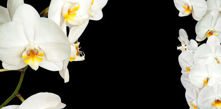 Large white Orchid flowers in the panoramic image. Panorama, a banner with space for text or insertion. White flowers on a black background. Concept, layout