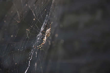 A huge spider is hanging on the web. Insects in nature. A spider in its web in the garden.