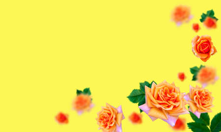 Orange roses on a solid yellow background. Place it in three-dimensional space. The concept of banner backgrounds or wallpapers. space for the text. Selective focus.