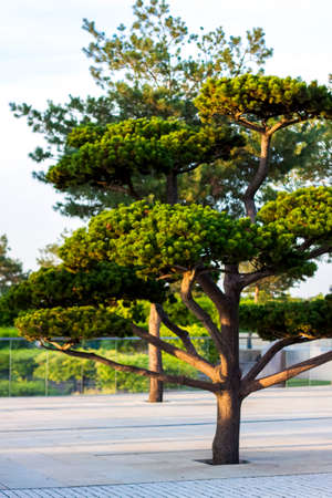 A beautiful tree grows in the park. Plants nature decorates Standard-Bild