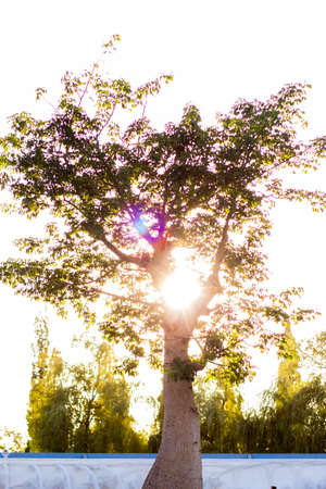 A baobab tree at sunset on a sunny day. Nature and trees in the park Standard-Bild