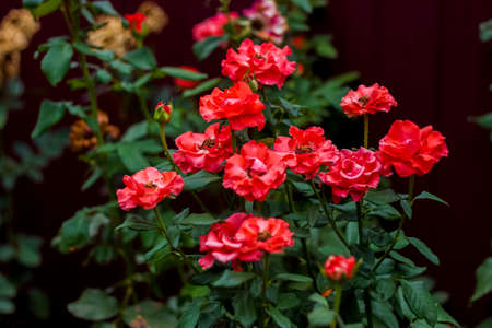 Beautiful red roses in the garden, roses for Valentine's Day or birthday. Red roses. Floral background, chic red Standard-Bild