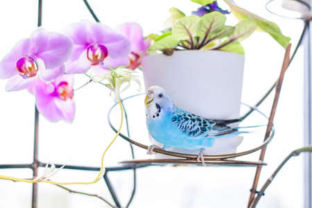 A beautiful blue budgie sits without a cage on a house plant. Tropical birds at home. Feathered pets at home.