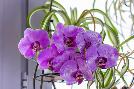 Purple orchid on the windowsill. Care of home plants. A beautiful orchid. Standard-Bild