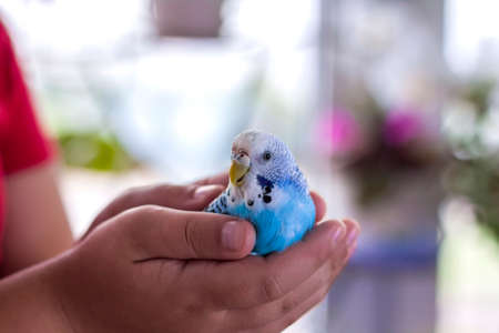A beautiful blue budgie sits in the child's hand. Tropical birds at home. Feathered pets at home.
