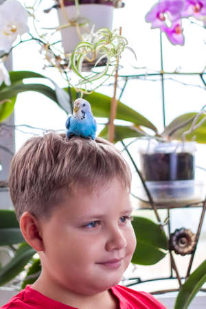 A beautiful blue budgie sits on the head of a child. Tropical birds at home. Feathered pets at home.