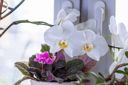 a white orchid on the windowsill. Care of home plants. A beautiful orchid