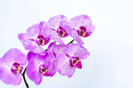 Beautiful orchids in a vase on a white background. phalaenopsis close-up. Banner, panorama with space for text. Background for the postcard. Standard-Bild