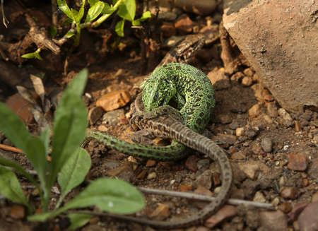 Green and brown lizard (Lacerta viridis, Lacerta agilis) on the stone background. Mating lizards