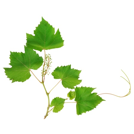 vine leaves isolated on white background Stock Photo