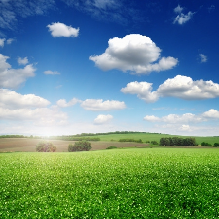 picturesque pea field and blue sky background photo