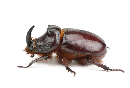 beetle isolated on white background photo