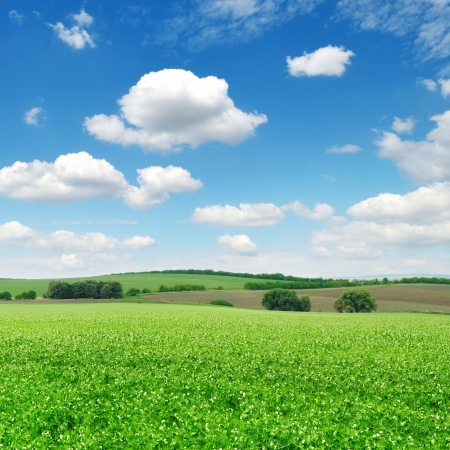 flowering field and a bright blue sky Stock Photo