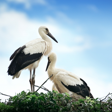 Storks in the nest on the background of the cloudy sky photo