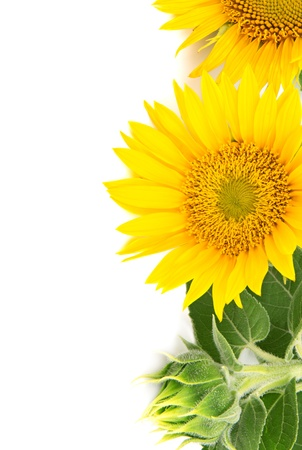 흰색 배경에 꽃 해바라기 스톡 콘텐츠 - 14809098