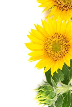 bloemen zonnebloemen op een witte achtergrond Stockfoto
