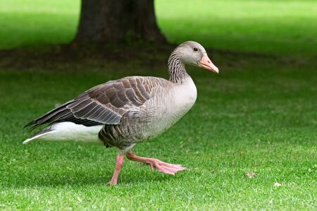 homemade goose on a green lawn photo