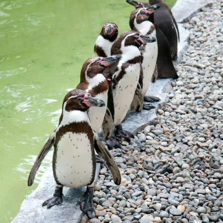 funny penguins in city zoo Stock Photo - 15259169