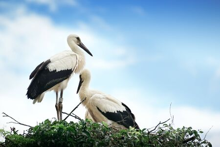 Storks in the nest on the background of the cloudy sky Stock Photo - 15420951