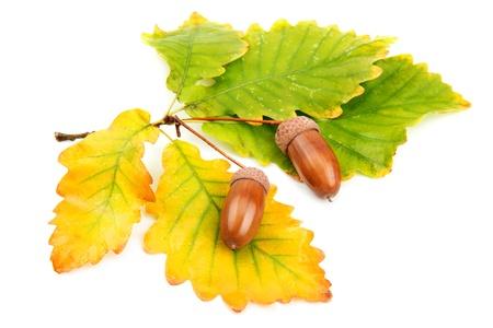 ドングリとオークの葉