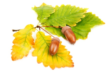acorns and oak leaves Stock Photo