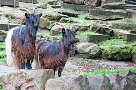 he goat: mountain goats  Stock Photo