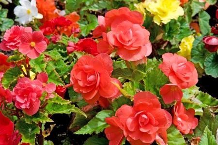 beautiful background of flowers begonias