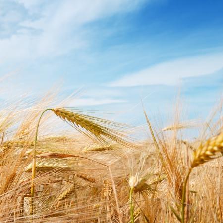 Tarwe veld en blauwe hemel met wolken Stockfoto