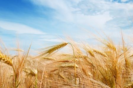 wheat crop: Campo de trigo y el cielo azul con nubes