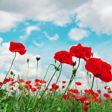 scarlet poppies on a background of the cloudy sky Stock Photo
