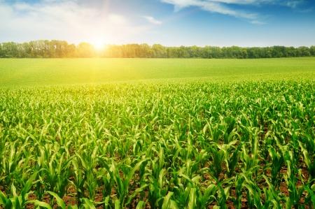 corn field: sunrise over the corn field
