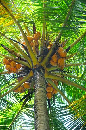 ramification: coconut tree background