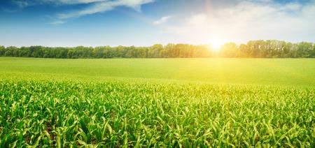 maize plant: salida del sol sobre el campo de ma�z Foto de archivo