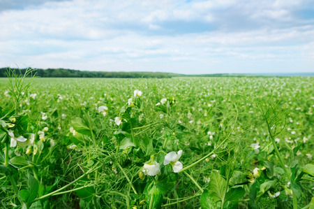 field with flowering peas and blue sky photo