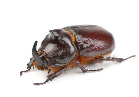 rhinoceros beetle isolated on white background photo