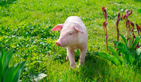 funny pig on a green grass photo