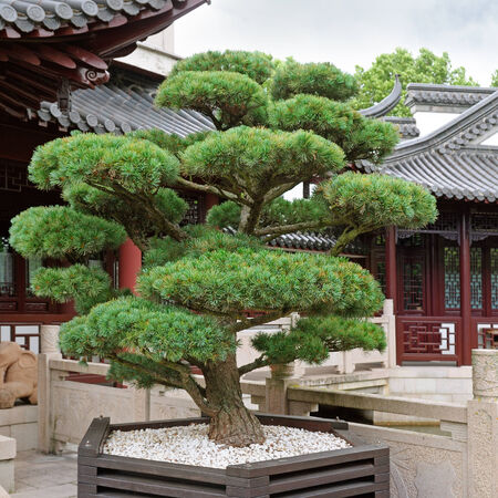 bonsai pine tree and a pagoda in the park photo