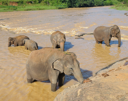 herds of elephants bathing in the river photo