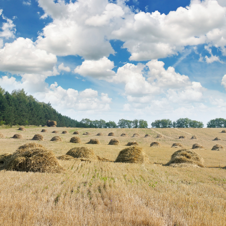 Field with Stacks of straw and blue sky photo